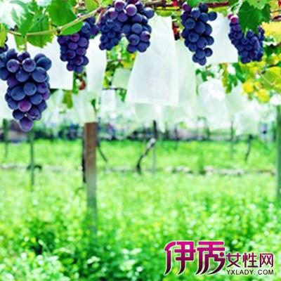 【梦见葡萄树上结满葡萄】【图】周公解梦梦见葡萄树