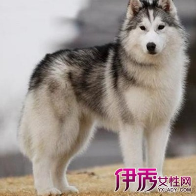 【狗生肖】【图】狗生肖民俗介绍 揭晓生肖狗