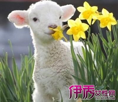 属羊今年多大了呢 属羊的几月出生最好