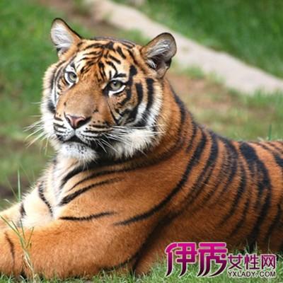 【属虎人今年运程】【图】属虎人今年运程揭晓