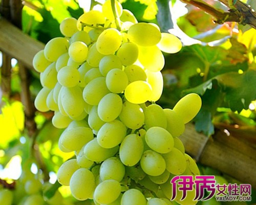 【梦见葡萄树上结满青葡萄】【图】梦见葡萄树上结满