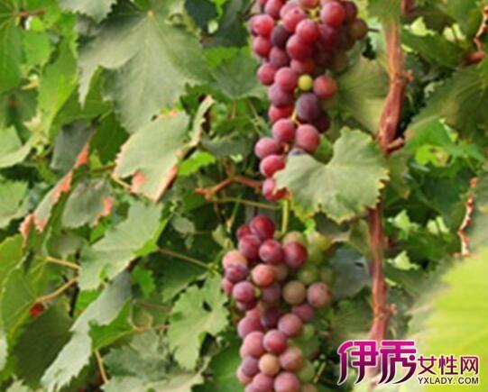 【梦见葡萄树上结满葡萄熟了】【图】梦见葡萄树上结