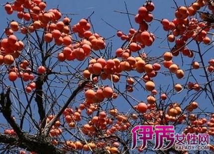 离异丧偶者梦见柿子树上结满柿子:有机会出游