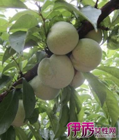 【梦见梨子树结满梨子】【图】梦见梨子树结满梨子是