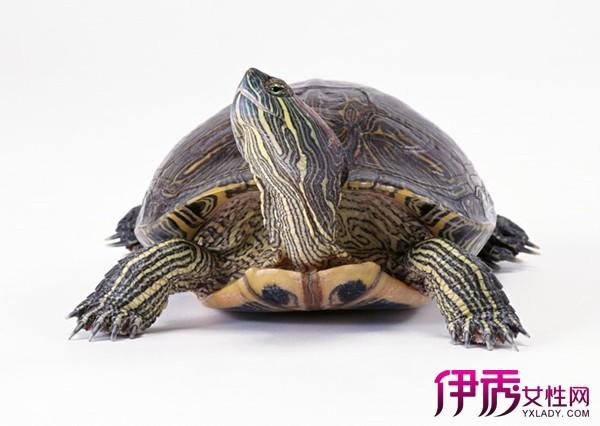 女人是不是不可以说男人乌龟_女人梦见男人喝乌龟血周公解梦梦见栗子梦见