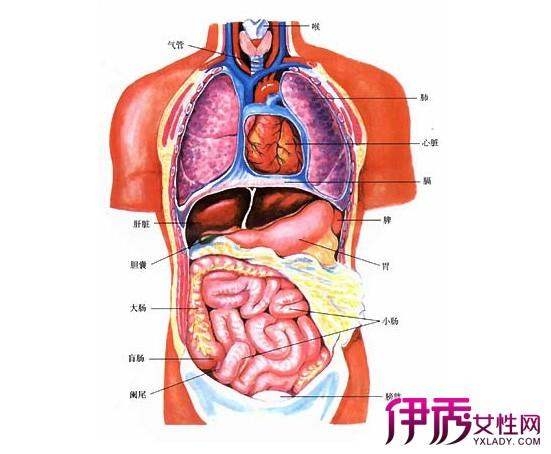 人体躯干解剖图是什么 三张图教你认识人体结构