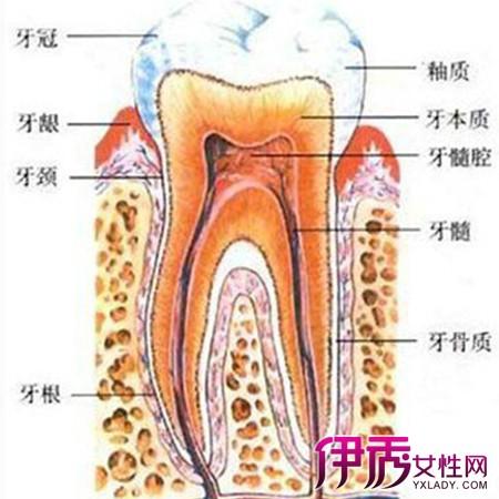 【牙齿的结构图】【图】牙齿的结构图展示