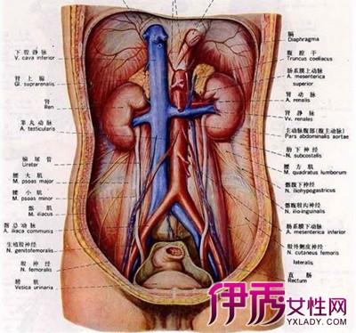 肚子左边是什么器官 这些器官都有什么作用图片