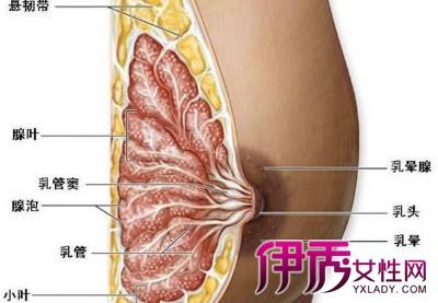 乳房_高潮时乳房的神秘生理变化详解_中国青年网健