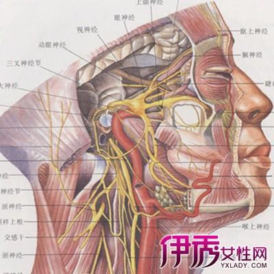 【面部神经分布图】【图】面部神经分布图展示