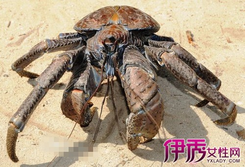 是现存最大型的陆生节肢动物
