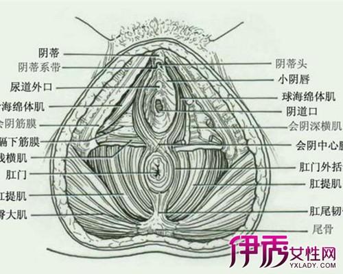 【女性左下腹部结构图】【图】女性左下腹部结构图