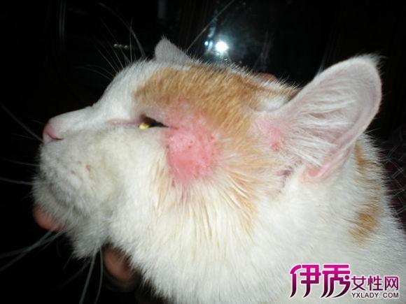 猫得螨虫的症状_猫得了猫癣怎么办-猫得了猫癣有什么症状-人身上猫藓的初期图片 ...