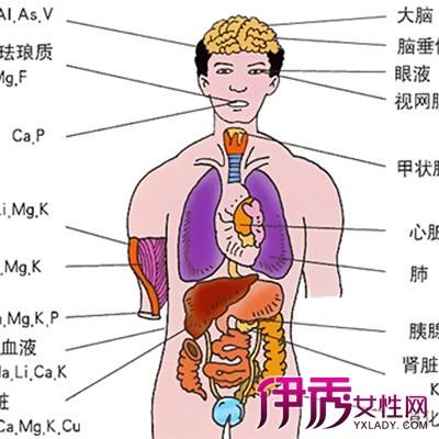 肝脏在人体什么部位 揭秘肝脏的中药作用图片
