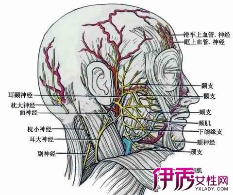中枢突终止于脑干内