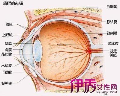 【眼睛的结构图】【图】了解眼睛的结构图