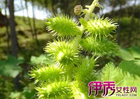 【图】大枣炒苍耳子的中药与功效有哪些呢它赞皇县苗木作用金丝图片