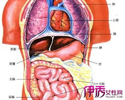 身体结构图男内脏 身体内脏器官结构图