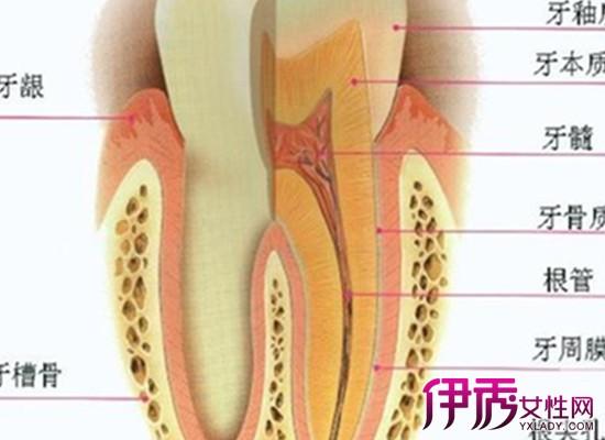 【牙齿的结构图片】【图】牙齿的结构图片展示