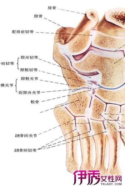 足部骨骼解剖图 几个知识点一定要知道